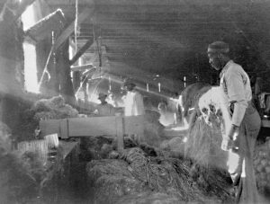 Black and white photograph showing at least 3 Black men working inside a building. Sunlight streams in through a window at the left. They stand over a a crop that is likely hemp.